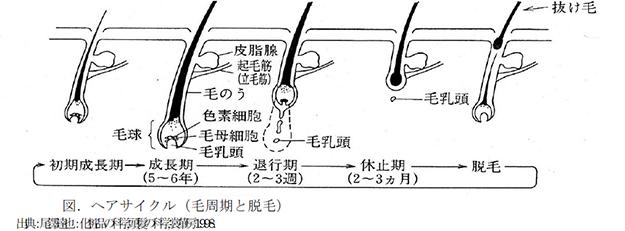 図:ヘアサイクル(毛周期と脱毛)